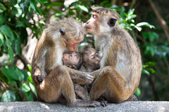 Mothers with young children Bonnet macaque monkeys. Two mothers with young children of Bonnet macaque monkeys. Tender scene, embrace between mothers and royalty free stock photography