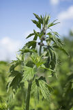 Motherwort begins to bloom in June Royalty Free Stock Image