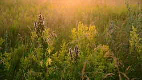 Motherwort fra erba selvatica nel prato video d archivio