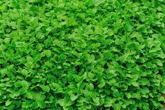 Motherwort herb Royalty Free Stock Images