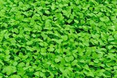 Motherwort herb in growth Stock Photos