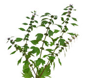 Motherwort Stock Photo