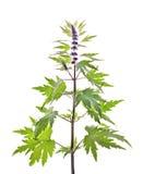 Motherwort, Leonurus L. Stock Image