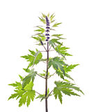 Motherwort, Leonurus L. Stock Afbeelding