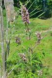 Motherwort medicinal 1 da erva Imagem de Stock Royalty Free