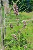 Motherwort medicinal 1 de la hierba imagen de archivo libre de regalías