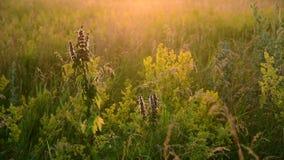 Motherwort onder wild gras in de weide stock videobeelden