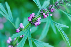 Motherwort plants. Close up of motherwort plants Stock Images