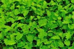 Motherwort ziele rośliny Fotografia Stock