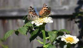 Moths And Butterflies, Butterfly, Insect, Nectar