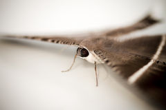 Moths, butterfly Stock Photography
