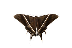 Moths, butterfly Stock Image
