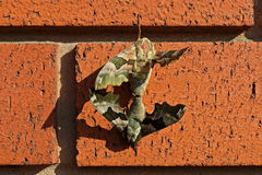 Moths mating on a brick wall. Close up of 2 two mating Lime Hawk moths hanging on the red brick wall Royalty Free Stock Image