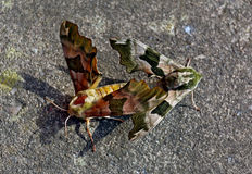 Moths mating on concrete Stock Images