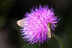Moths on Purple Thistle. Bloom in Texas, Wildflower Royalty Free Stock Photo
