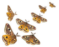 Moths (Saturnia pavoniella) flying isolated on white Stock Image