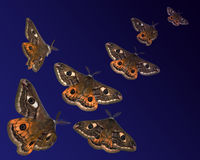 Moths (Saturnia pavoniella) flying in the night Royalty Free Stock Photos