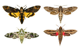 Moths Species. Royalty Free Stock Photo