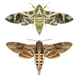 Moths Royalty Free Stock Photos