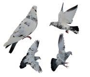 Moti in bianco e nero isolati della colomba Fotografia Stock Libera da Diritti