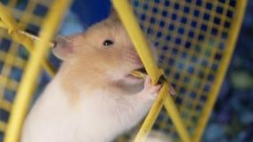 Motie die van grappige skrian hamster de tanden binnen kooi malen stock footage