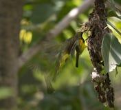 Motie olijf-Gesteund Sunbird Stock Foto