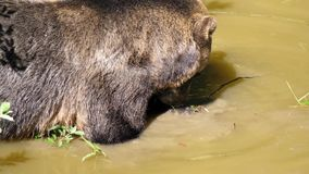 Motie van bruine beer die voedsel vinden stock footage