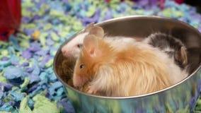 Motie van buitensporige muis die onkruid binnen kooi eten stock videobeelden