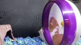 Motie van grappig skrian hamster het spelen wiel binnen kooi stock footage