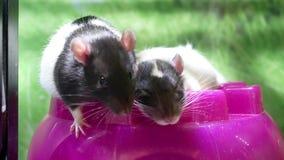 Motie van grappige ratten in kooi stock videobeelden