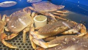 Motie van levende krabben in de tank bij supermarkt stock footage