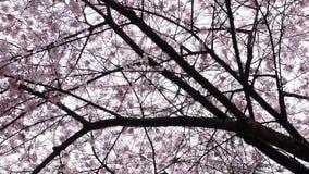 Motie van roze kersenbloemen die in de lente bloeien stock videobeelden