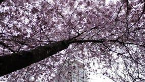 Motie van roze kersenbloemen die in de lente bloeien stock video