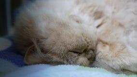 Motie van slaap Perzische kat op stoel stock videobeelden