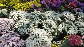 Motie van vele bloemen van de soortenwinter in de tuin stock videobeelden