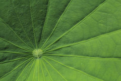 Motifs de feuille de lotus photos libres de droits
