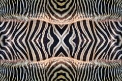 Motifs and patterns of zebra skin. Motifs and patterns of zebra skin for background royalty free stock images