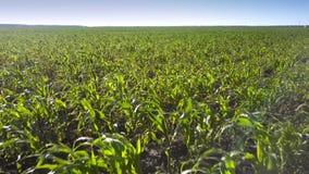Motion above green corn boundless field under blue sky