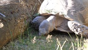 Motion of African spurred tortoise moving and eating grass. At zoo stock video footage