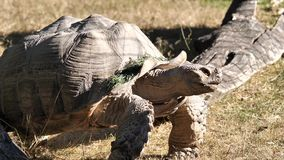 Motion of African spurred tortoise moving on grass. Inside zoo stock video footage