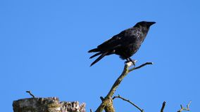 Motion of a black crow sitting and shouting on tree. Against blue sky stock video footage
