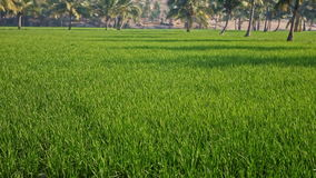 Motion from Blue Flowers in Green Field to Palms against Town. Camera moves from blue flowers in green rice field to palms and old town on hill against blue sky stock footage