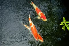 Motion blur of colorful carp fish or koi fish in a garden pond i. N Thailand, Abstract top view of colorful fancy carp fish Royalty Free Stock Photos