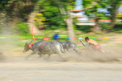 Motion blurred of buffalo competition Stock Photography