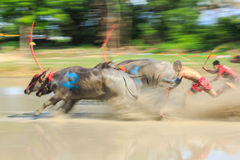 Motion blurred of buffalo competition Stock Image