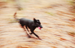 Motion blurred running dog in autumnal park Royalty Free Stock Photography
