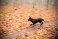 Motion blurred running dog in autumnal park Royalty Free Stock Images