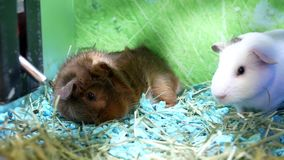 Motion of funny guinea pigs in cage. Inside petsmart store stock video
