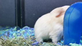 Motion of funny guinea pigs eating weed inside cage. At petsmart store stock video footage