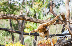 The motion of Gibbon swing itself Royalty Free Stock Image